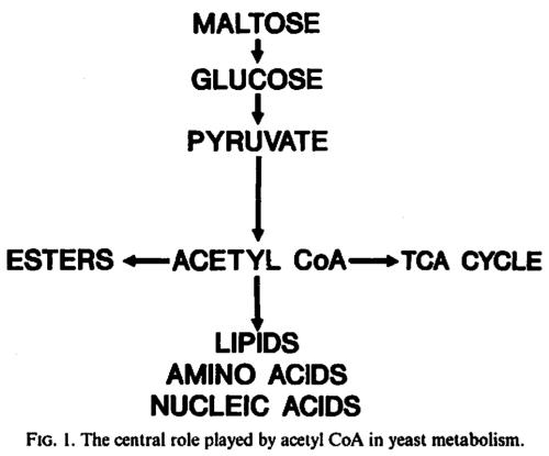 acetyl CoA