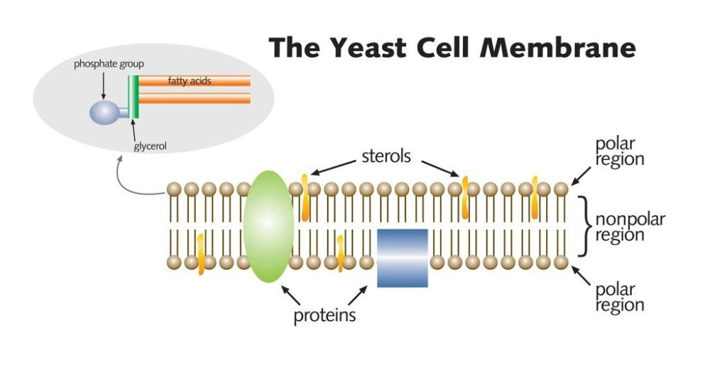 membrane experiment